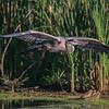 Great Blue Heron - Almost Landing