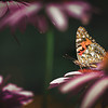 Painted Lady Butterfly surrounded by Pink Coneflowers