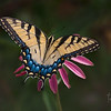 Tiger Swallowtail Butterly at my Garden