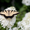 Easter Tiger Swallowtail Butterfly on PeeGee Hydrangeas