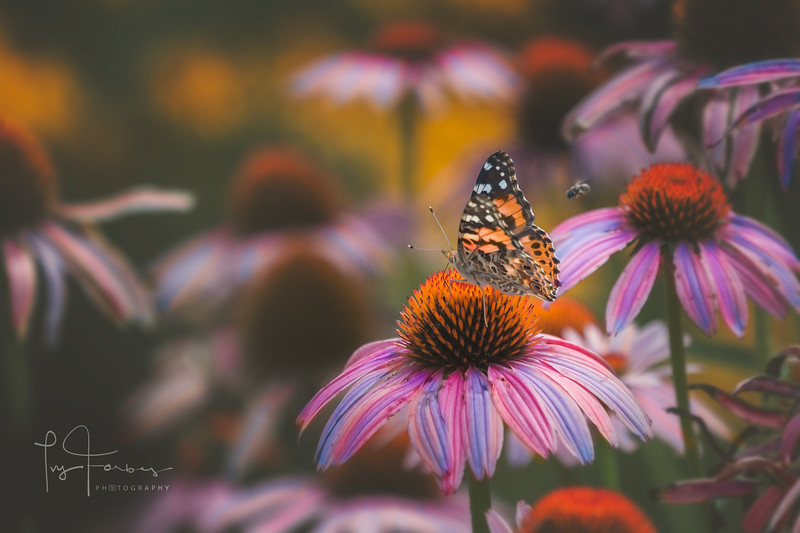 Painted Lady Butterfly and Bee