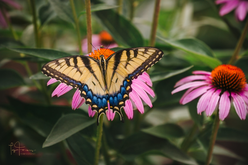 Tiger Swallowtail Butterfly on Pink Cone Flower