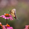 Tiger Swallowtail on Pink Cone Flower 2