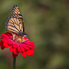 Monarch Butterfly on Red Zinnia