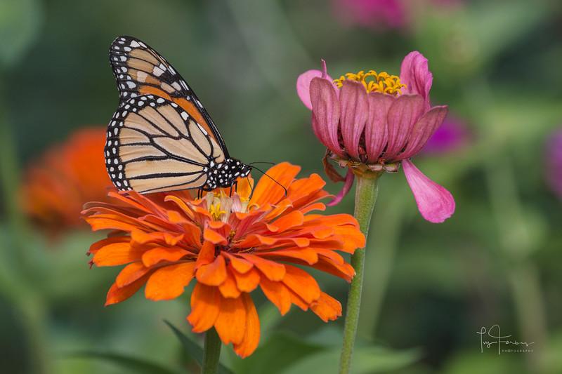 Monarch Butterfly on Orange Zinnia