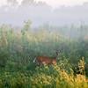 Deer In A Prairie