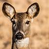 Female White Tailed Deer