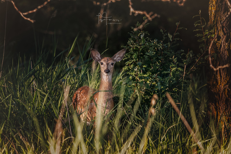 Fawn at Chalco Hill
