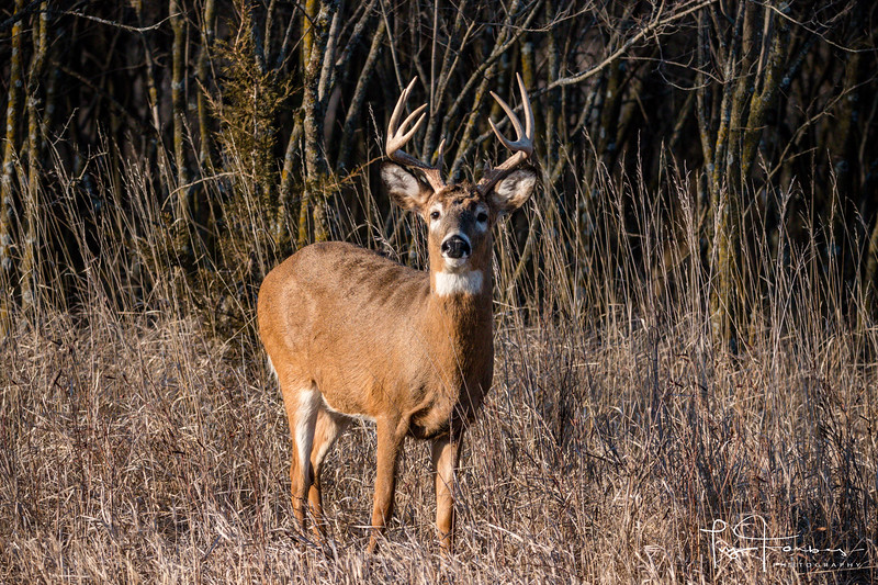 Curious White Tailed Deer Buck