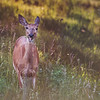 Dinner Time - Female White-Tailed Deer
