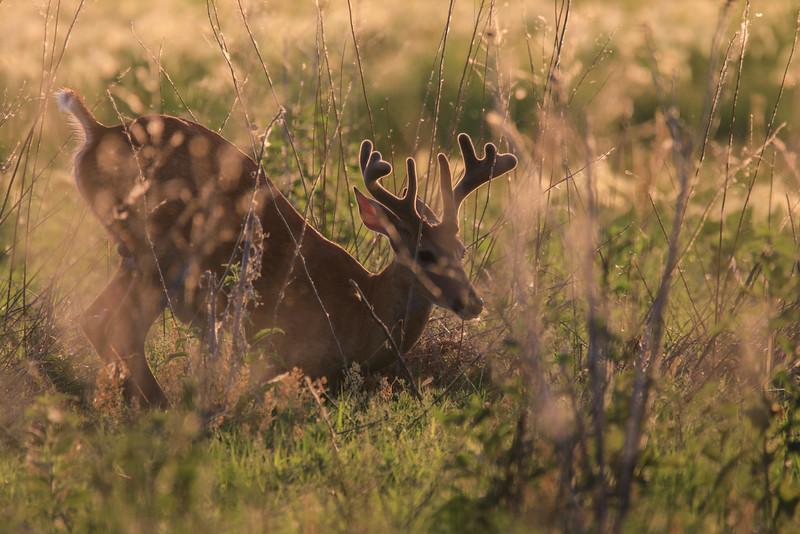 Resting White Tailed Deer Buck