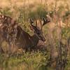 Resting White Tailed Deer Buck