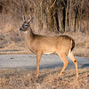 The Beauty of White Tailed Deer