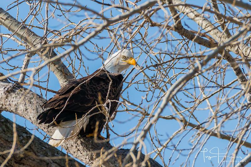Bald Eagle - The Eye