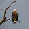 Magnificent Bald Eagle