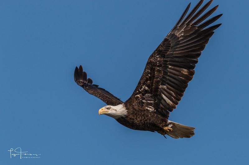 Bald Eagle with Tiny Fish