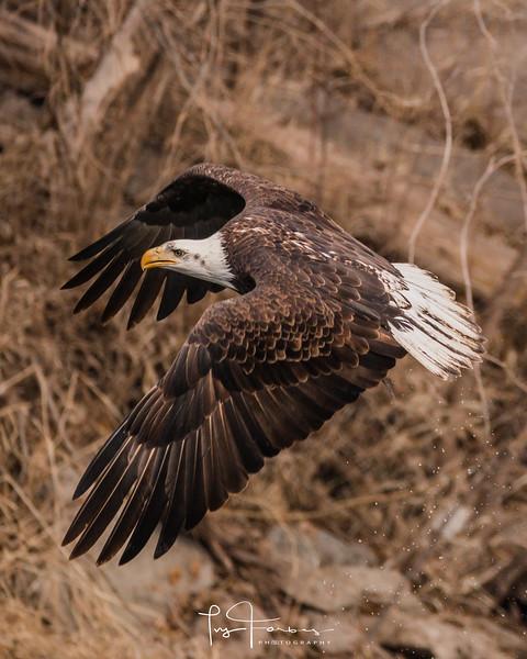 Bald Eagle Portrait Size Photo