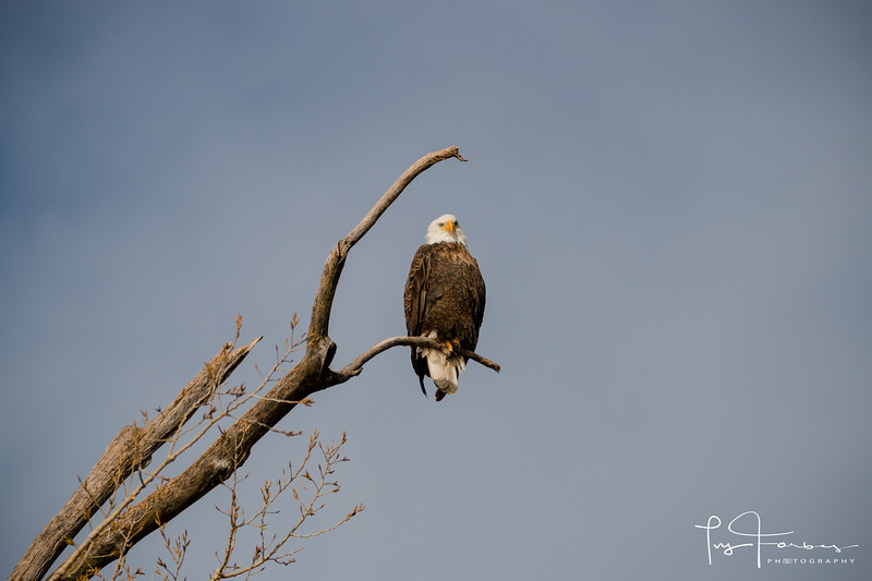 Magnificent Bald Eagle