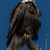 Bald Eagle Looking Up to the Sky - Portrait 2