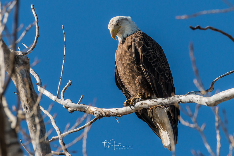 Bald Eagle Looking Down