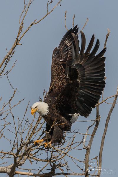 Bald Eagle on Soft Landing
