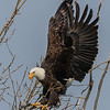 Bald Eagle on Soft Landing