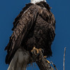 Bald Eagle Looking Up to the Sky - Portrait