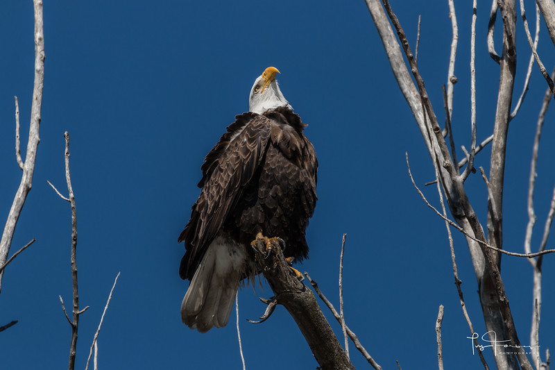 Bald Eagle Looking Up to the Sky - Landscape
