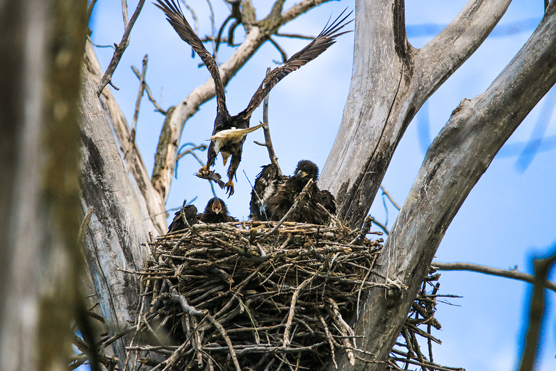 Bald Eagle Family