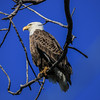 Bald Eagle - Adult 2