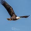 Magnificent Bald Eagle Soaring High