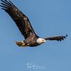 Magnificent Bald Eagle Soaring High