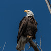 Bald Eagle Looking Up to the Sky - Landscape 2