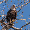 Bald Eagle at Lake Manawa