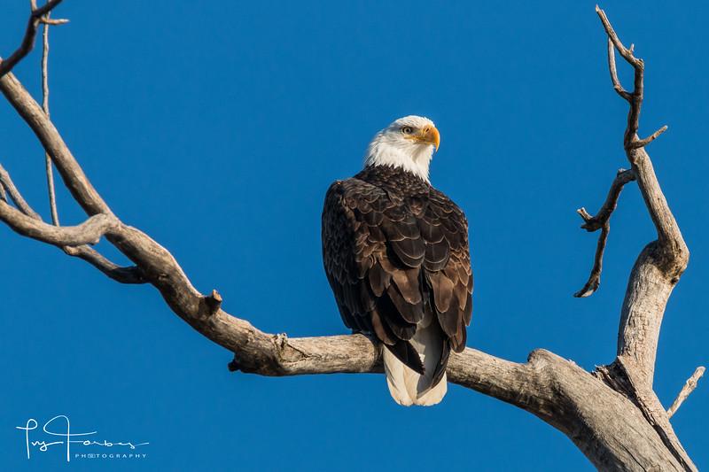 Bald Eagle at Lake Manawa