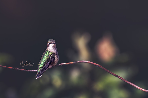 Cute Side Pose by a Female Ruby-Throated Hummingbird