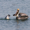 Friends - Gull and Brown Pelican