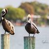 A Couple of Brown Pelicans