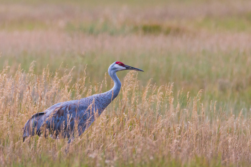 Sandhill Crane in National Elk Refuge