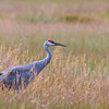 Sandhill Crane in National Elk Refuge