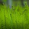 Ferns awakening