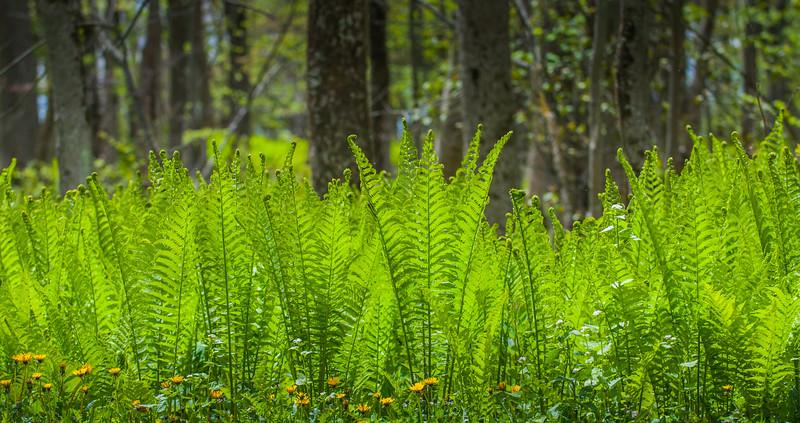 Ferns in Spring