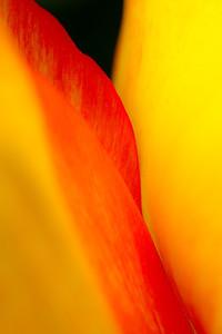 Tulip Biltmore Gardens, NC