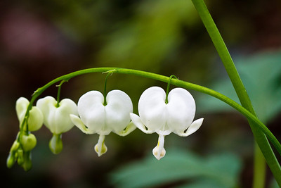 White Bleeding Hearts Biltmore Gardens, NC