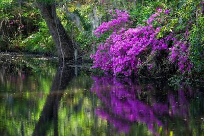 Azaleas Reflections