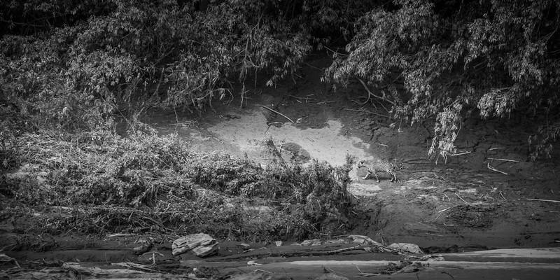 Jaguar sighted - Tampobata River, Peru