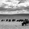Utah - Bisons