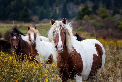 Ponies of Grayson Highlands