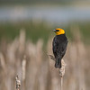 Yellow-headed Blackbird (Xanthocephalus Xanthocephalis)