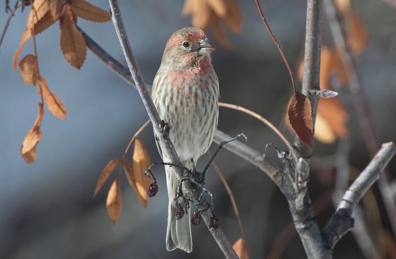 House Finch (Carpodacus mexicanus) Male